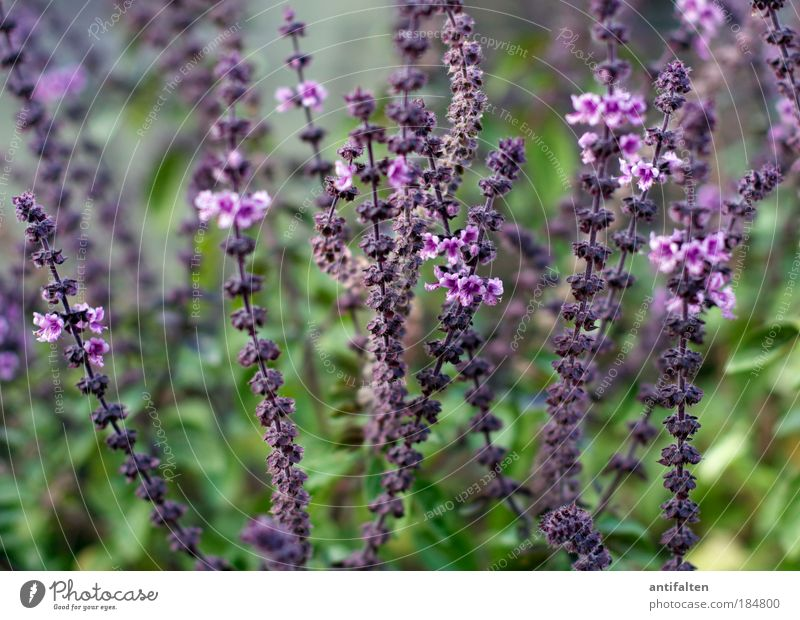 Nature Green Beautiful Plant Summer Autumn Blossom Grass Healthy Happiness Bushes Violet Blossoming Herbs and spices Stalk Harmonious