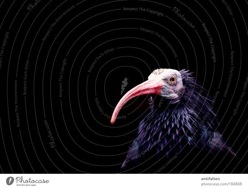50 - Wood Ibis Zoo Zoology Animal Wild animal Bird Animal face Wing Beak 1 Looking Sit Gigantic Glittering Blue Pink Red Black Arrogant Pride