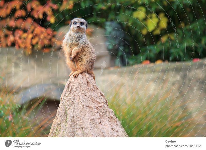 cheeky monkey Nature Autumn Park Animal Wild animal Pelt Paw Zoo Meerkat 1 Brash Curiosity Cute Smart Zoology Berlin zoo scratch suricates Mammal Mongoose