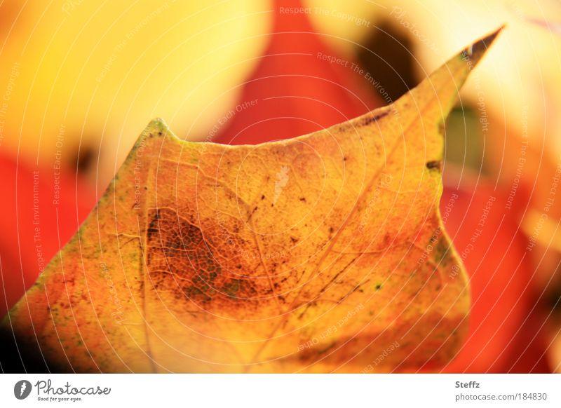 passionate november Autumn Plant flaked Maple leaf Autumn leaves already Yellow Orange autumn colours autumn mood Mood lighting Nature Warmth Transience Change