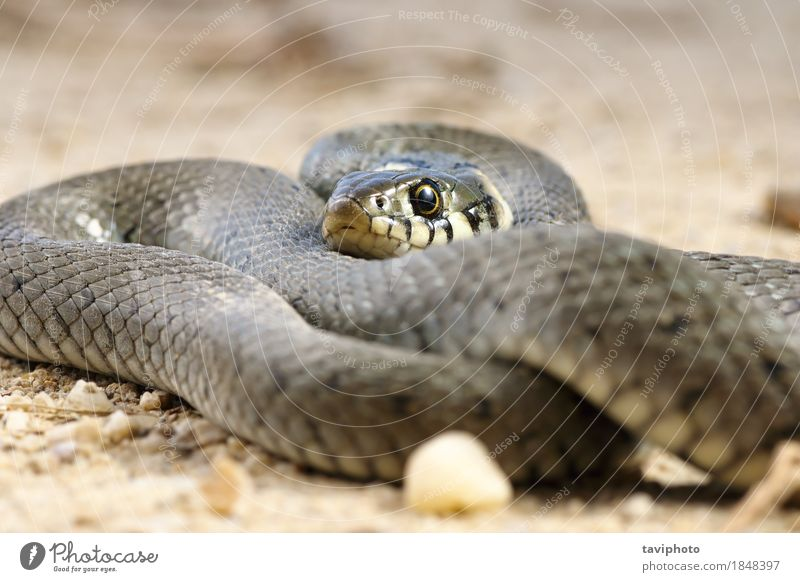 close up of grass snake basking on the ground Beautiful Skin Nature Animal Grass Snake Wild Black Fear natrix Reptiles wildlife Zoology coldblooded head