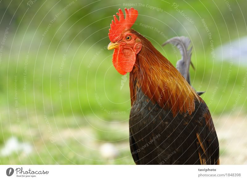 closeup of colorful rooster Meat Elegant Beautiful Man Adults Nature Animal Bird Stand Bright Natural Brown Green Red Pride Colour poultry Rooster fowl Chicken