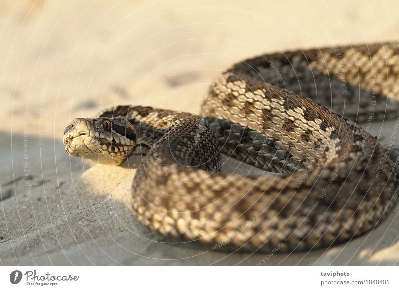 closeup of female moldavian meadow viper Woman Nature Colour Beautiful Animal Adults Meadow Natural Brown Wild Fear Europe Dangerous Photography Living thing