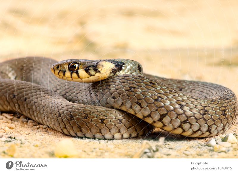 juvenile grass snake close up Face Life Nature Animal Grass Snake Wild Gray Fear Colour wildlife Reptiles predator danger slither serpent reptilian eye