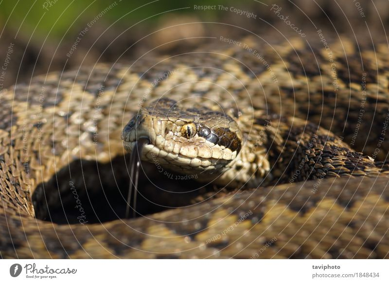 macro portrait of meadow adder Woman Nature Beautiful Animal Face Adults Meadow Small Brown Wild Fear Dangerous Photography Living thing European Poison