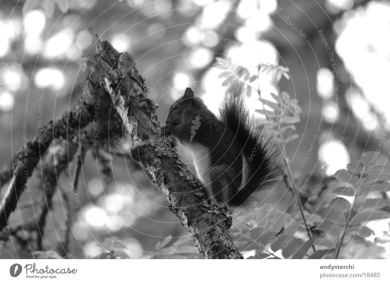 A-croissant Forest Tree Animal Rodent Transport squirrel Black & white photo monochomous Branch