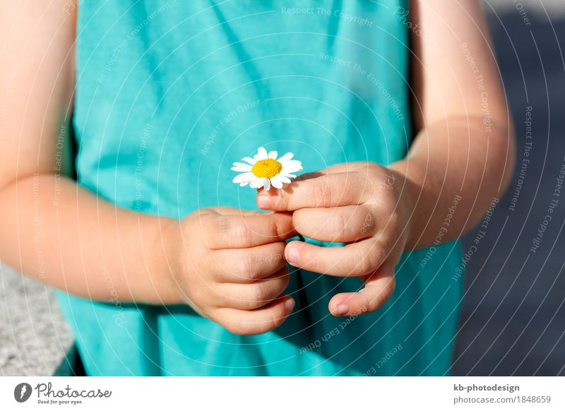 Small girl holds beautiful daisy into the camera Beautiful Summer Toddler Girl Hand Fingers Flower Cute Multicoloured agriculture cultivation blue heaven white