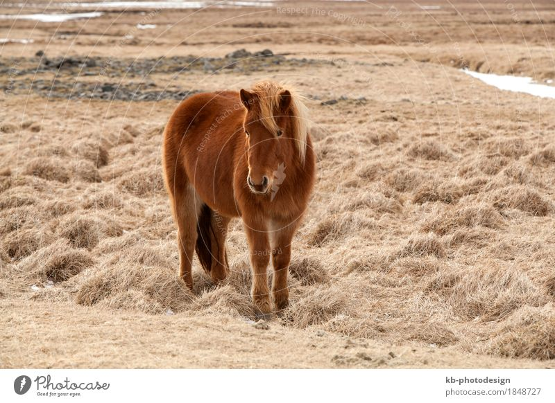Brown Icelandic horse on a meadow in spring Ride Vacation & Travel Tourism Adventure Far-off places Winter Pet Horse 1 Animal Iceland pony Iceland ponies