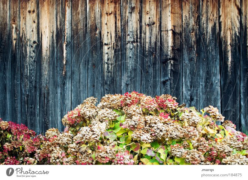 Nature Beautiful Flower Plant Autumn Wall (building) Wood Wall (barrier) Facade Esthetic Change Transience Uniqueness Exceptional Blossoming Fragrance