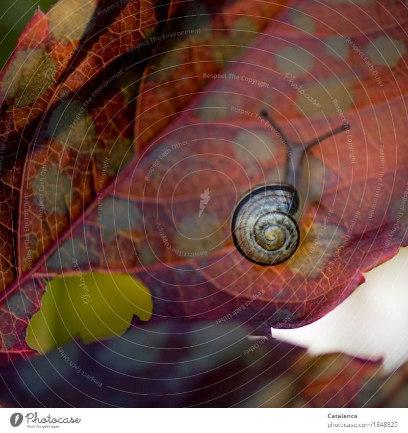 underside of a sheet Nature Plant Animal Autumn Climate Leaf Virginia Creeper Garden Snail 1 Movement Discover Esthetic Slimy Brown Yellow Red Contentment Brave