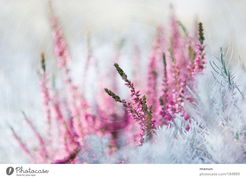 Nature Plant Winter Blossom Spring Bright Pink Design Park Macro (Extreme close-up) Growth Fresh Illuminate Esthetic Bushes Violet