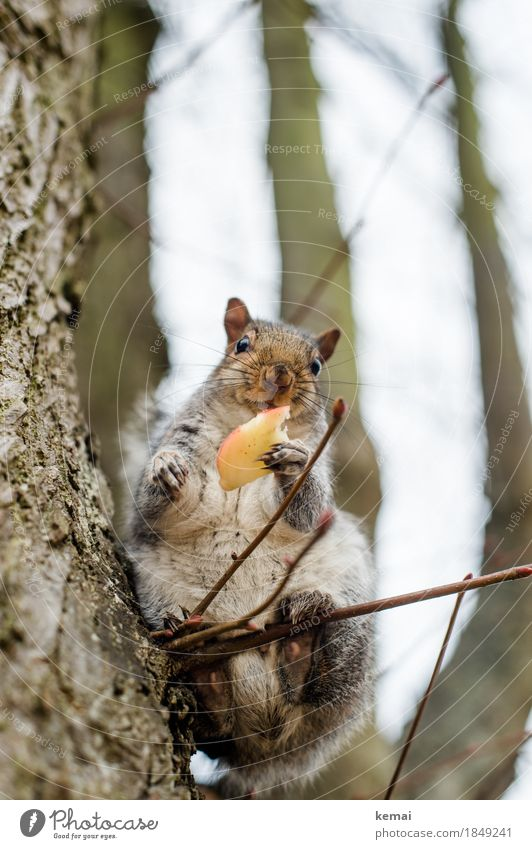 Thanks very much. Apple Nutrition Environment Nature Animal Tree Twig Park Wild animal Animal face Pelt Claw Paw Squirrel 1 To hold on Feeding Looking Sit