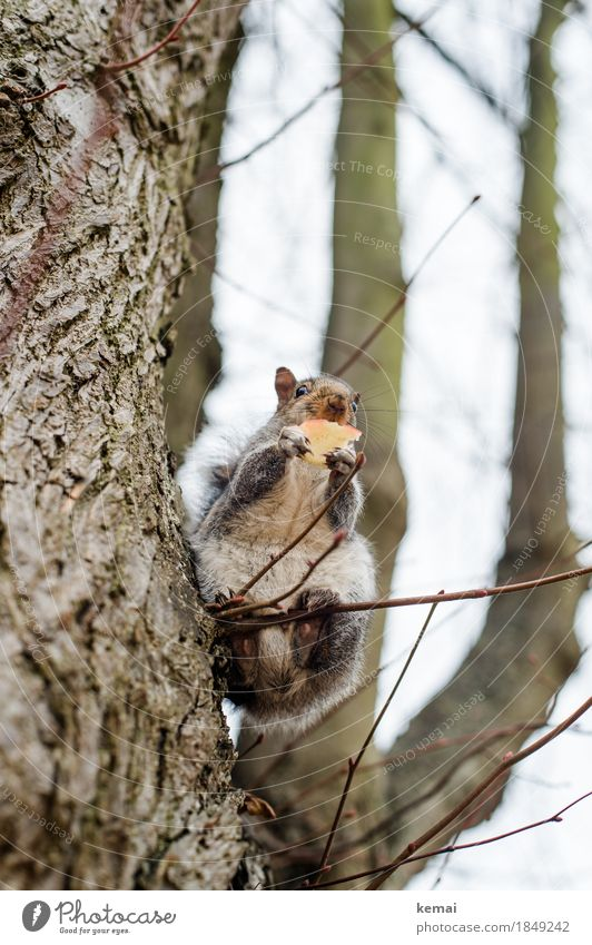 To have the balls Apple Nature Plant Animal Tree Twig Branch Park Wild animal Squirrel 1 To hold on To feed Looking Sit Authentic Natural Curiosity Cute
