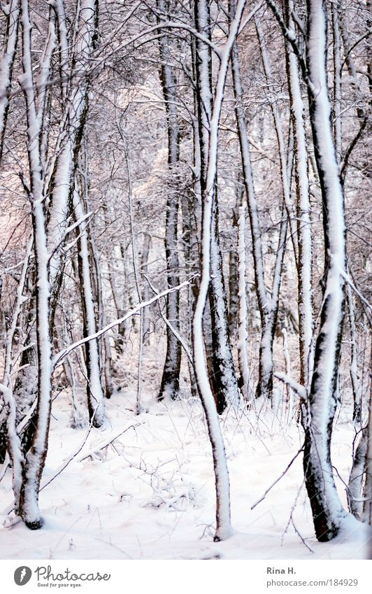 Birches in the snow Subdued colour Twilight Shallow depth of field Central perspective Nature Landscape Ice Frost Snow Forest Cold Black White Emotions