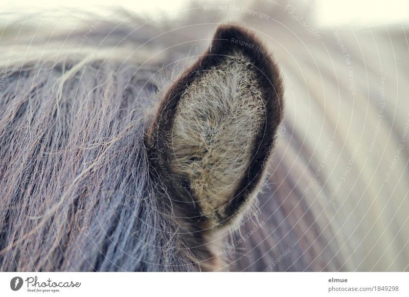 radar cone Iceland Iceland Pony Horse Ear Mane Pelt eavesdropper Listening Cuddly Soft Trust Love of animals Curiosity Interest Pride Relationship Expectation