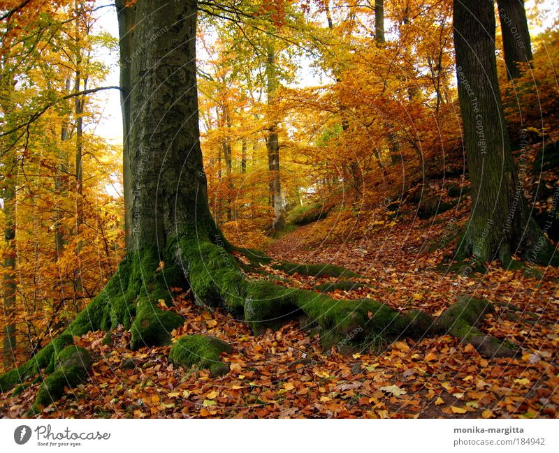 Golden Autumn 1 Colour photo Exterior shot Deserted Sunlight Deep depth of field Central perspective Harmonious Calm Landscape Earth Beautiful weather Tree Moss