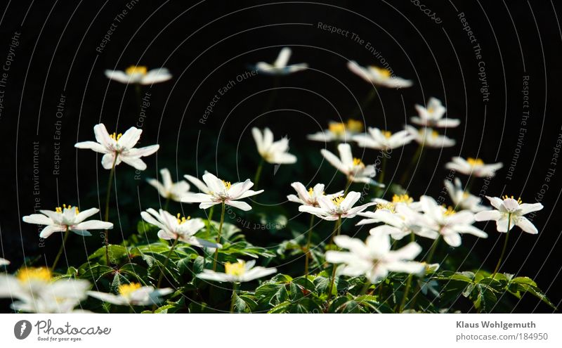 Nature Plant Green White Flower Environment Spring Blossom Wild Gold Esthetic Blossoming Botany Wild plant Biology Anemone