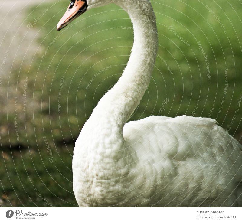 incognito Plant Animal Grass Park Meadow Wild animal Swan Glittering Feeding To enjoy Illuminate Esthetic Threat Elegant Thin White Honest Arrogant Pride Neck