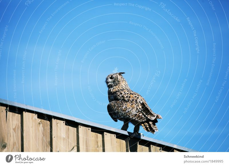 The bird Hunting Environment Nature Landscape Sky Cloudless sky Sun Animal Wild animal Bird 1 Observe Feeding Esthetic Threat Beautiful Blue Brown Eagle owl