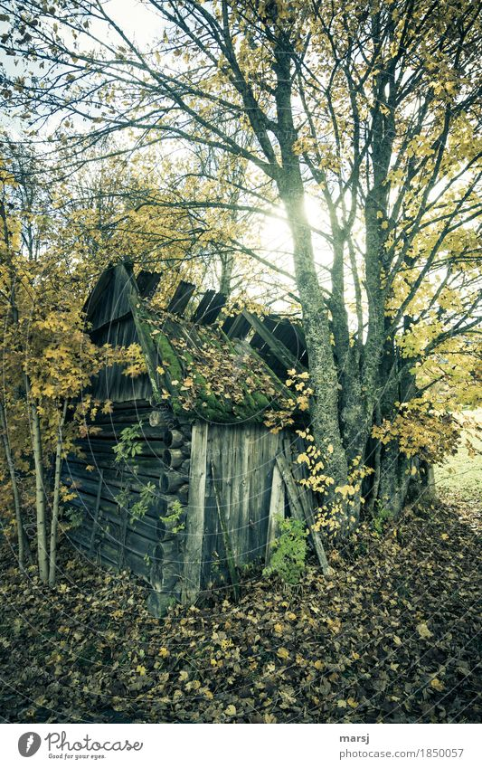 The counted days are over. Hut Autumn Tree Maple tree hay barnyard Old Sadness Grief Fatigue Pain Disappointment Loneliness Transience Lose Derelict Decline