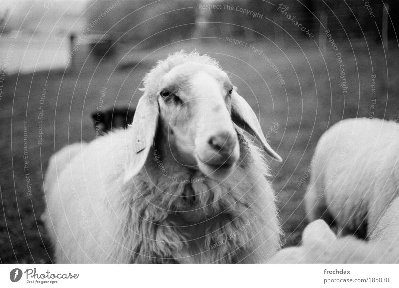 da mothersheep Farm animal Animal face Pelt Group of animals Green Black Silver White Analog Kodak TRI - X 400 Canon T70 50mm ƒ 1.8 Black & white photo