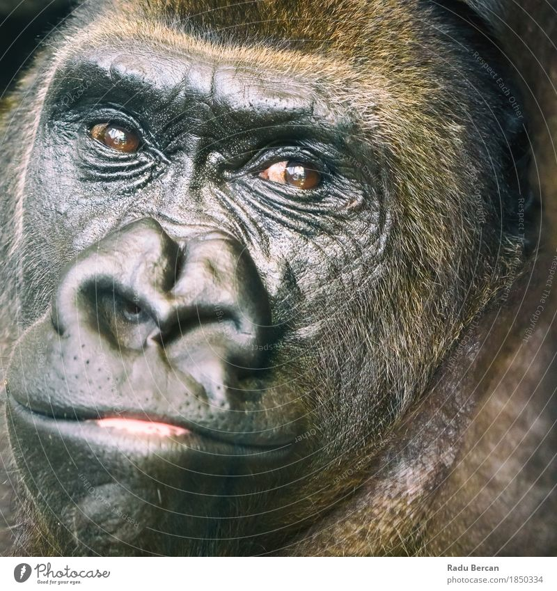 Black Gorilla Portrait Face Environment Nature Animal Forest Wild animal Animal face 1 Observe Looking Friendliness Large Muscular Cute Strong Brown Energy