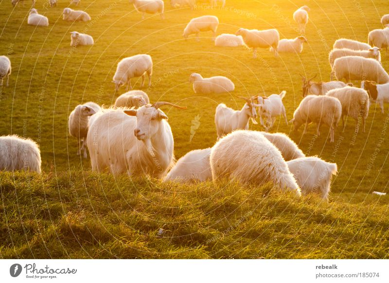 Animal Meadow Grass Happy Moody Life Agriculture Contentment Natural Illuminate Stand Group of animals Idyll Plant Farm Sheep