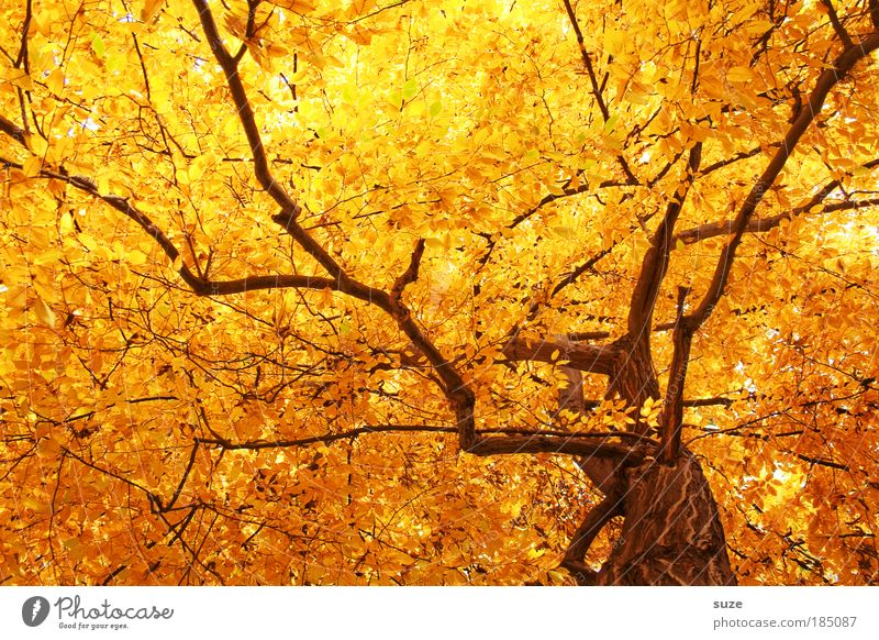 Nature Old Tree Leaf Autumn Emotions Environment Gold Time Esthetic Forest To fall Branch Light Seasons Tree trunk