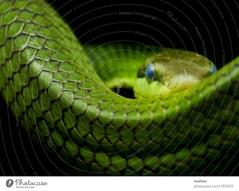 blue eyes Animal Snake 1 Bow Threat Elegant Blue Green Serene Concentrate Power Hunting Observe Eyes Strong Colour photo Interior shot Deserted Copy Space top