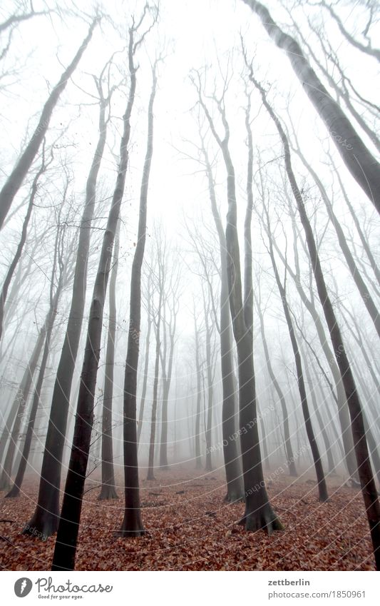 Fog in the high forest Forest Deciduous forest Tree Tree trunk Branch Twig Beech tree Beech wood Forestry Wood Autumn Winter Haze Sky Colorless Cold Dreary