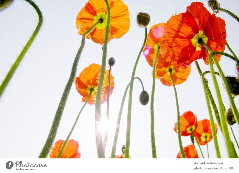 Sun Flower Green Blue Plant Red Summer Blossom Spring Light Flowering plants Elegant Sunlight Esthetic Growth Poppy