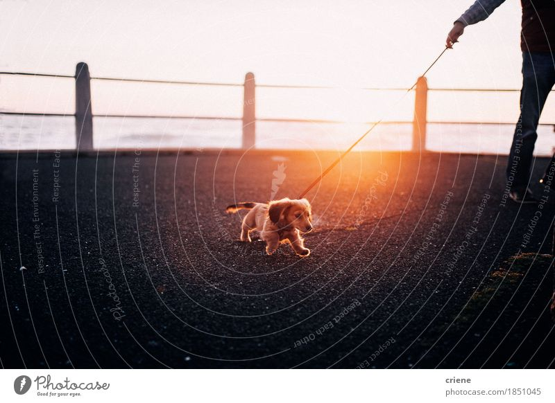Adorable puppy running playful on promenade in sunset Lifestyle Joy Beautiful Sun Beautiful weather Park Street Animal Pet Dog 1 Small Funny Cute Puppy healthy