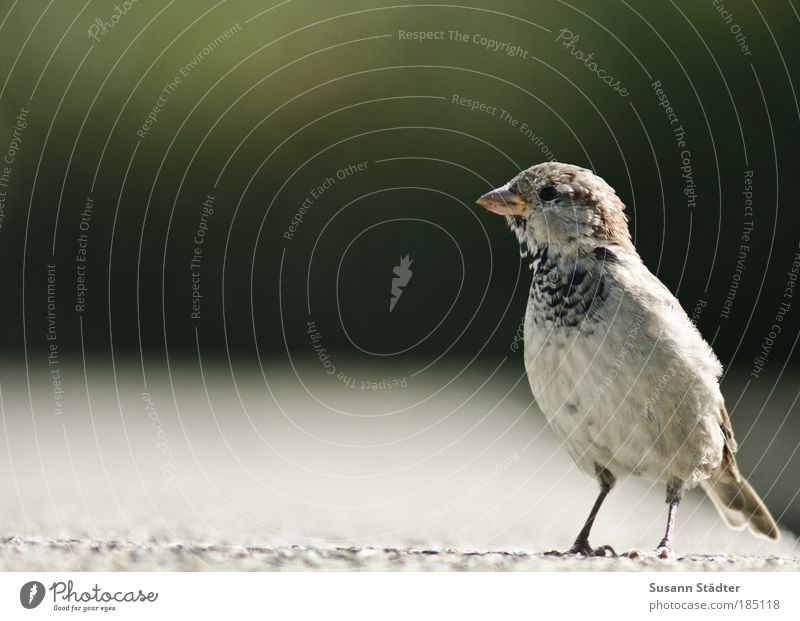 standstill Wild animal Bird Pelt Observe Looking Wait Sparrow Stand Match Stone wall Feather Wing Beak Small Nature Living thing Curiosity Cute Watchfulness