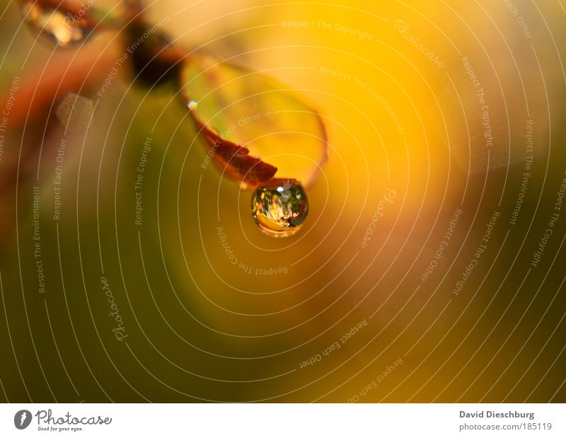 Tear of autumn Nature Water Drops of water Autumn Plant Leaf Brown Yellow Green Sphere Damp Wet Reflection Seasons Round Colour photo Exterior shot Close-up