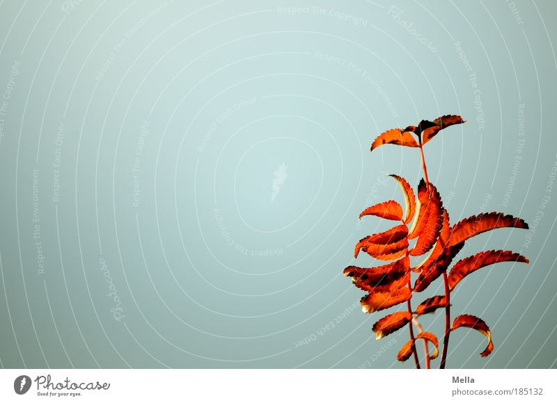 Nature Sky Plant Red Leaf Colour Autumn Gray Moody Weather Environment Gold Time Change Branch Transience