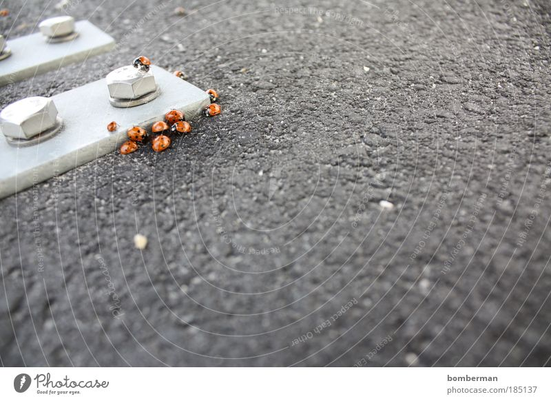 ladybird infestation Animal Beetle Group of animals Together Ladybird Asphalt Metal Screw Point Colour photo Exterior shot Close-up Deserted Copy Space right