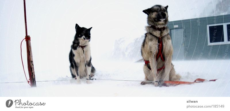 huskies Sled dog Winter Snow Mountain Bad weather Gale Fog Ice Frost Pet Farm animal Dog 2 Animal Pack Anticipation Fatigue Husky Les Diableretes Cold Alsatian