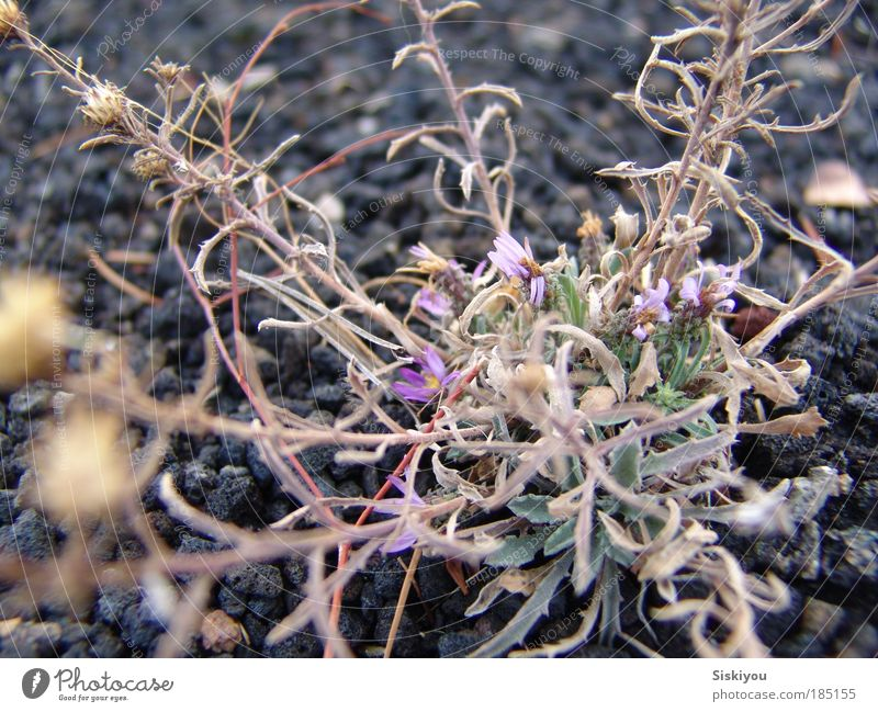 Nährboden Nature Flower Plant Winter Black Stone Park Earth Power Environment Success Rock Esthetic Growth Violet Desert