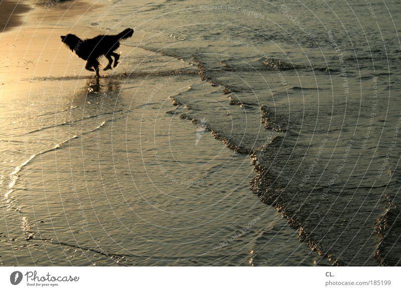 beach dog Nature Landscape Sand Water Sun Sunrise Sunset Summer Beautiful weather Waves Coast River bank Beach Bay North Sea Ocean Island Lake Animal Pet Dog