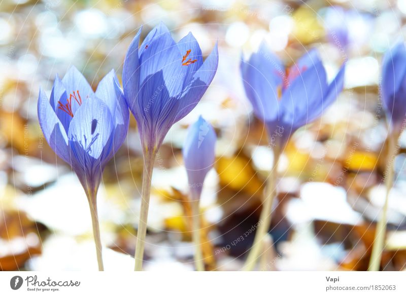 Blue flower crocus in the forest Summer Sun Garden Environment Nature Landscape Plant Sunlight Spring Flower Leaf Blossom Wild plant Meadow Forest Fresh Bright