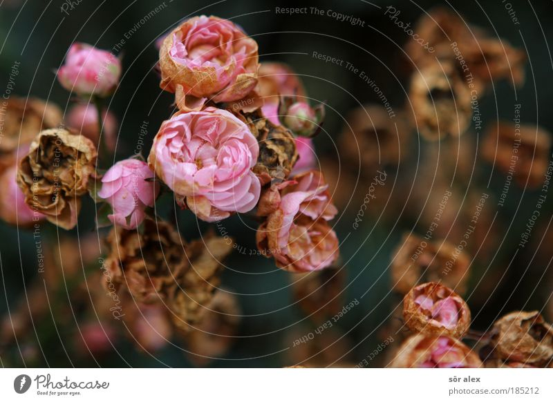 Nature Beautiful Plant Flower Life Autumn Death Sadness Blossom Moody Pink Contentment Threat Transience Grief Rose