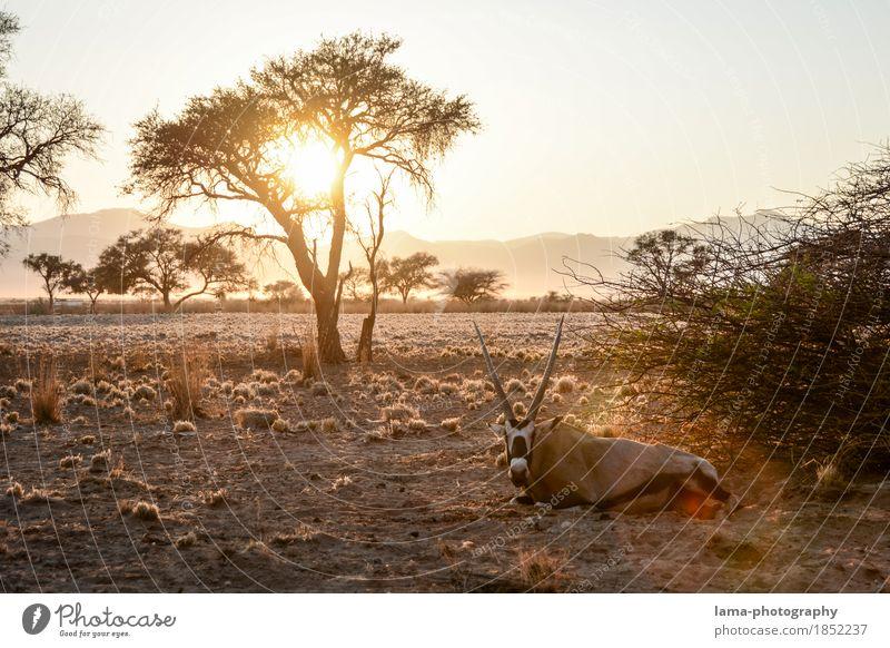 A new day. Vacation & Travel Far-off places Safari Summer vacation Sunrise Sunset Sunlight Tree Bushes Desert Namib desert Namibia Africa Gemsbok Antelope Calm