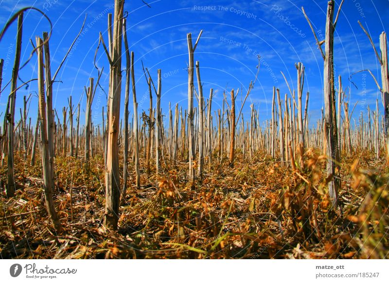 No bed in the cornfield Agriculture Forestry Environment Nature Landscape Plant Earth Sky Autumn Agricultural crop Grain Wheat Field Climate Dry Moss Withered