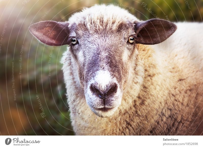 Quite a sheep Nature Animal Pet Curiosity Sheep Ear Looking Wool Ask Listening Summer Claw Clarity Eyes Vegetarian diet Meat Killing Beautiful Exterior shot Day