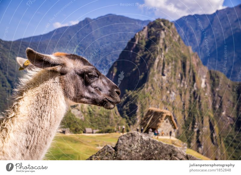 Llama in Machu Picchu Lost Ina City, Peru Vacation & Travel Tourism Mountain Culture Nature Landscape Animal Earth Clouds Rock Ruin Terrace Street Stone Old