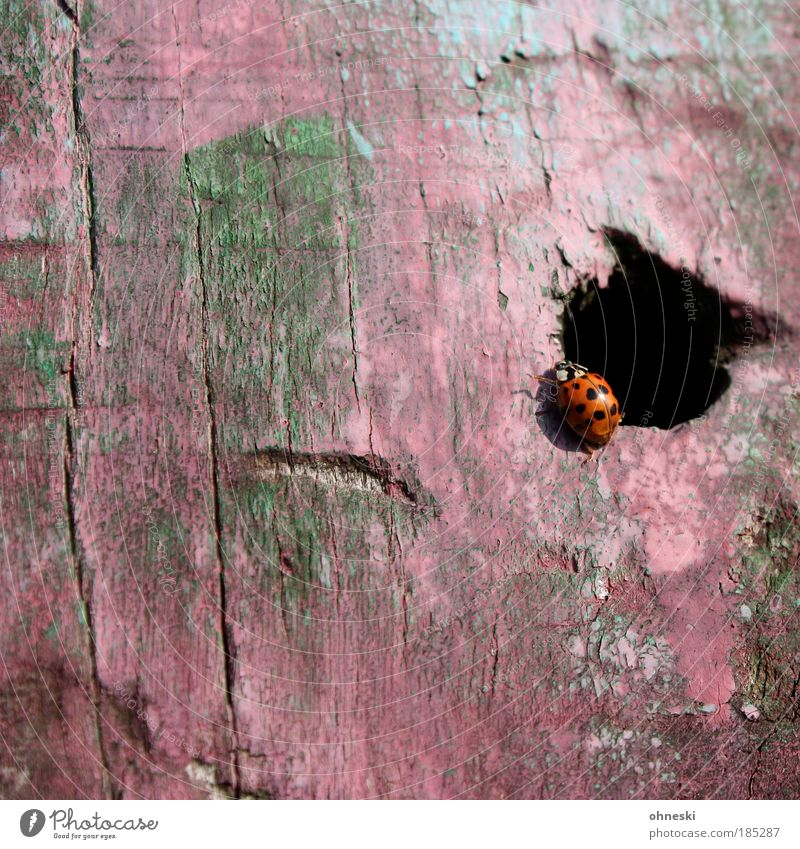 Apartment of the female ladybird Environment Nature Animal Wild animal Beetle Ladybird Insect 1 Wood Pink Hollow Colour photo Multicoloured Exterior shot