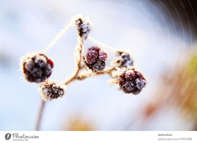 blackberry ice cream with cream Nature Plant Winter Beautiful weather Ice Frost Snow Bushes Blackberry bush Fruit Garden Freeze Cold Freeze to death Transience