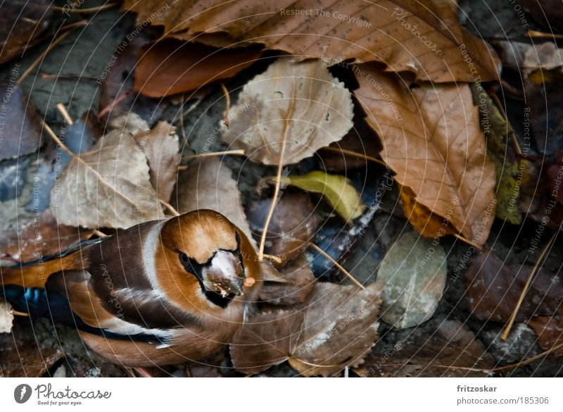 magic hood Nature Leaf Animal Bird 1 To feed Brown Yellow Hawfinch Copy Space right Copy Space top Autumn Colour photo Exterior shot Close-up Day
