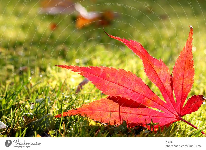 Happy birthday... | in the spotlight II Environment Nature Plant Autumn Beautiful weather Grass Leaf Maple leaf Rachis Garden Illuminate Lie To dry up Esthetic