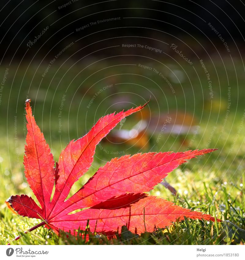 once again in the limelight... Environment Nature Plant Autumn Beautiful weather Grass Leaf Maple leaf Rachis Garden Illuminate Lie To dry up Authentic